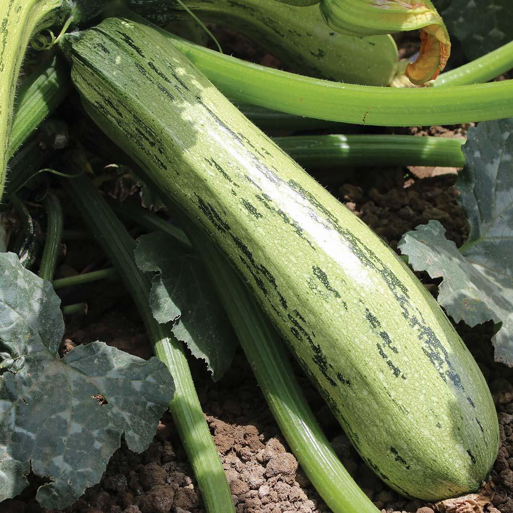 Zucchini squash - Bossa Nova