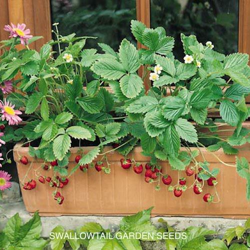 Alexandria alpine strawberry - Fragaria vesca
