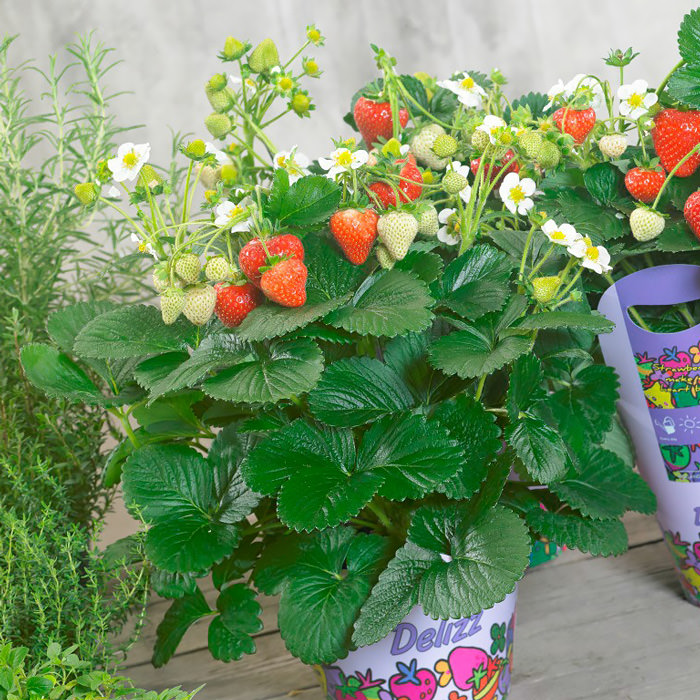 Delizz Strawberry