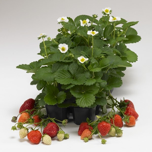 Loran strawberry fruit and flowers