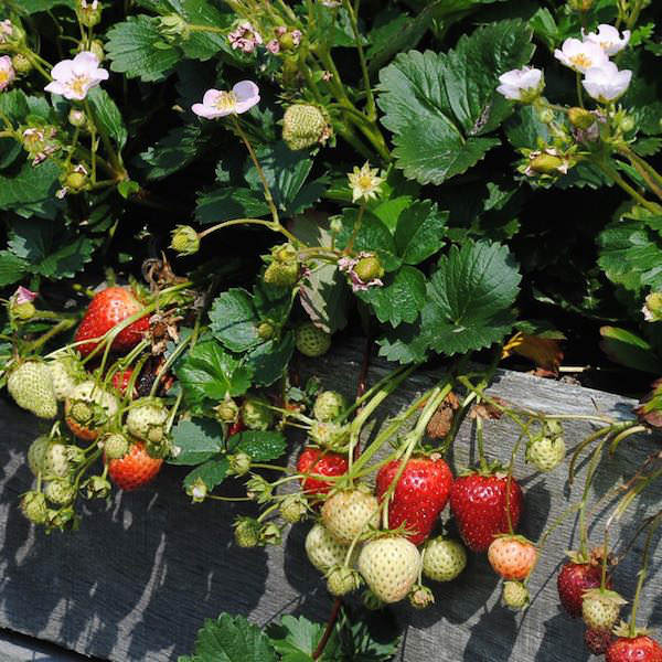 Merlan Strawberry plants covered in pink flowers and red fruits.