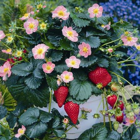 Pikan strawberry, glossy leaves, pink flowers.