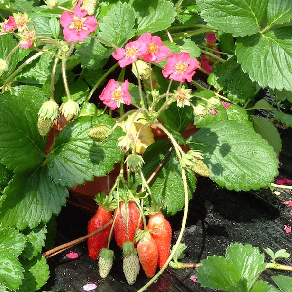 Tarpan strawberry with deep rose colored flowers