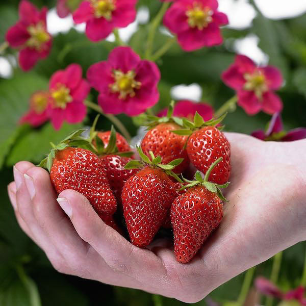 Toscana strawberry cone shaped fruit, deep pink flowers.