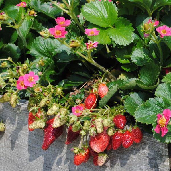 Strawberry Tristan - Fragaria x ananassa - vegetable seeds.
