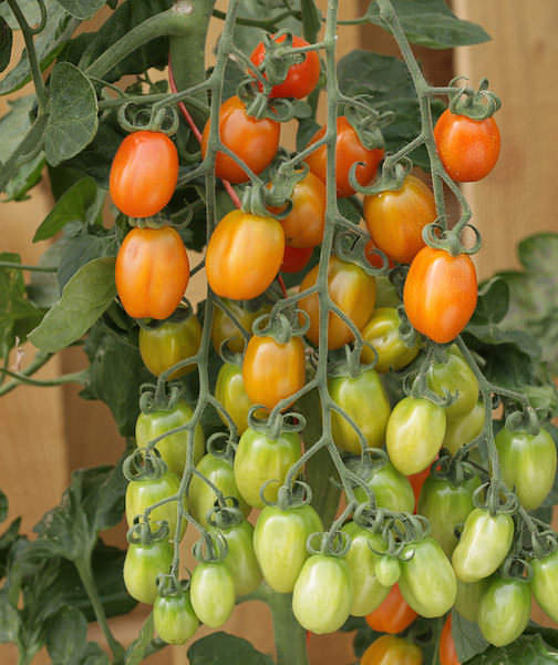 Tomato Apricot Dream - cherry tomatoes
