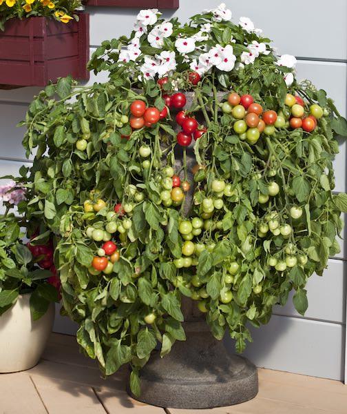 Las mejores variedades para los amantes del tomate
