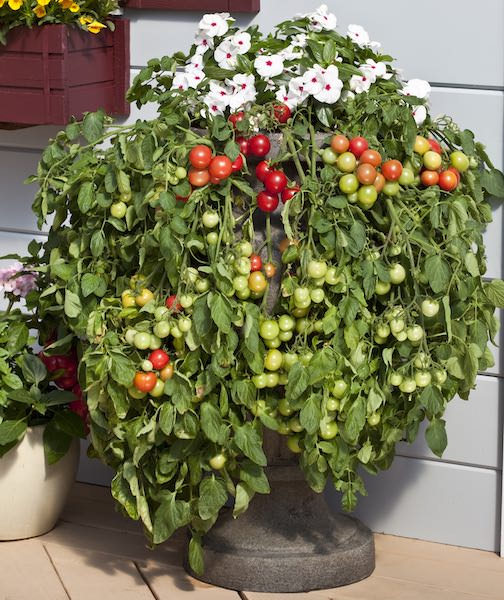 Tomato Cherry Falls - cherry tomatoes