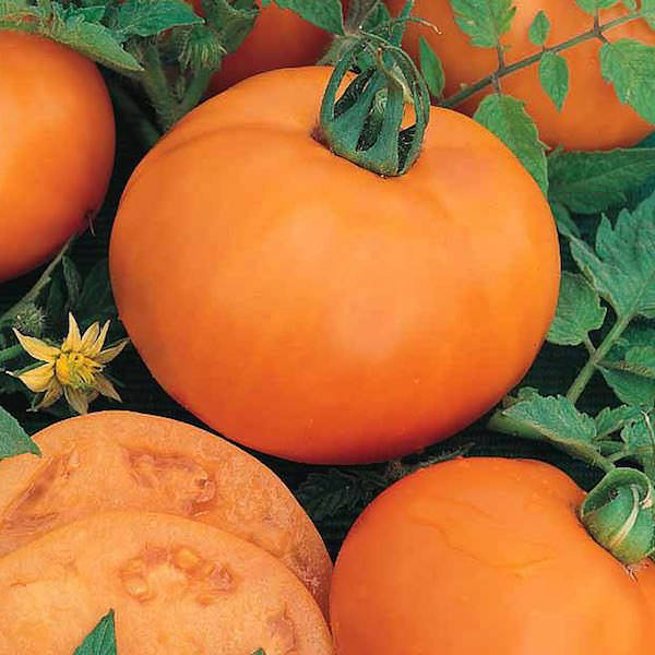 Tomato Persimmon - heirloom tomatoes