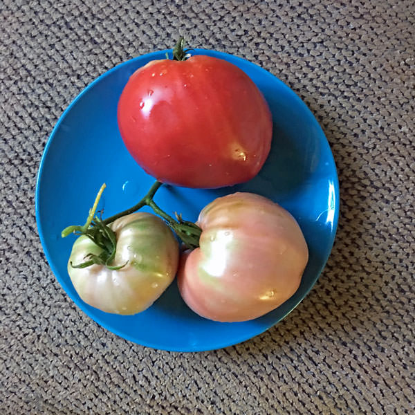 Kosovo heirloom tomato seeds