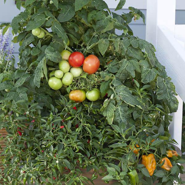 Tomato Mega Bite   Patio Tomatoes