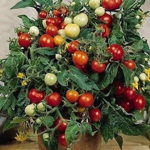 Micro Tom cherry tomato