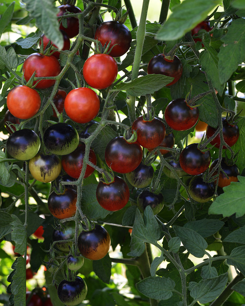 Midnight Snack cherry tomato
