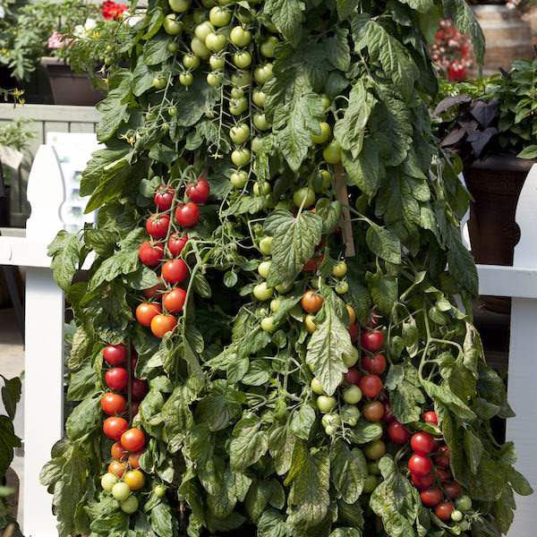Cherry tomato, Pink Charmer - vegetable seeds