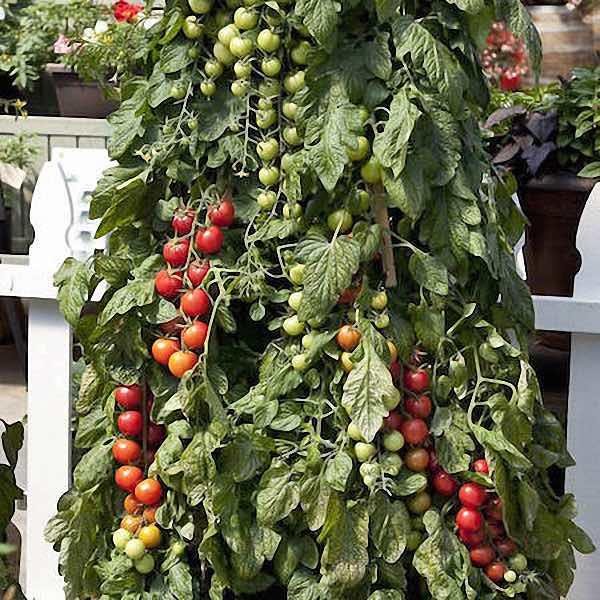 Tomato Pink Charmer - cherry tomatoes