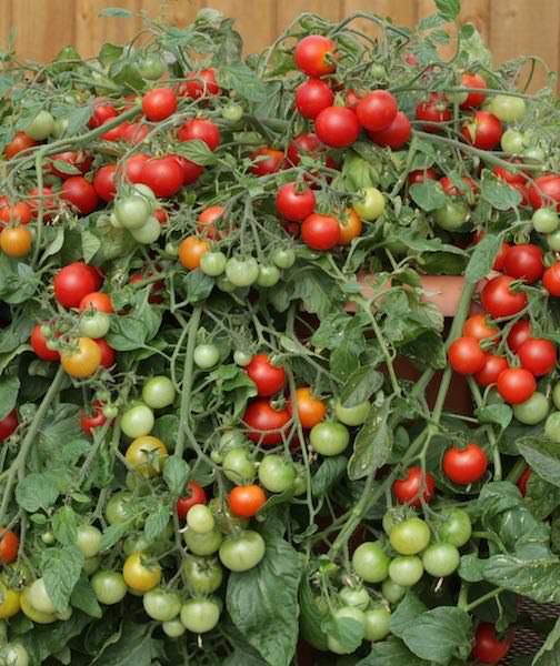 Tomato Red Profusion - cherry tomatoes