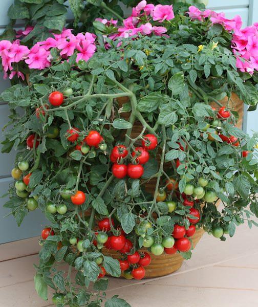Tomato Tumbling Tom Red - patio tomatoes