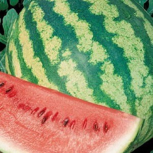 The striped rind of Crimson Sweet watermelon.