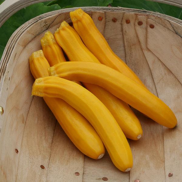 Buckingham Zucchini squash