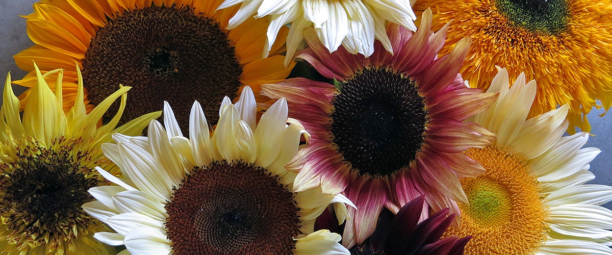 Annual Flower Seeds - Sunflowers