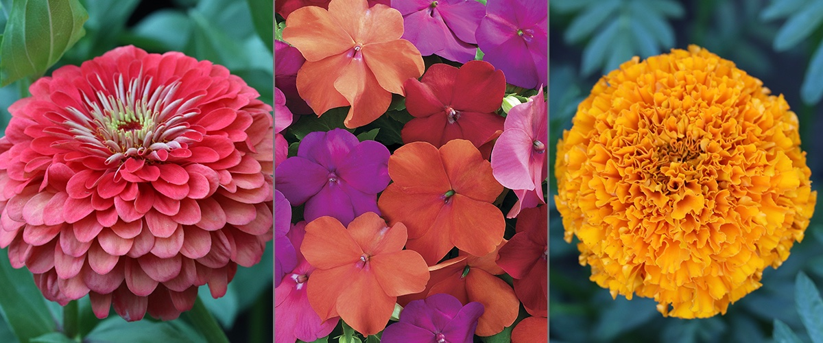 Bulk Seeds - Zinnias, Impatiens, Marigolds, and more.