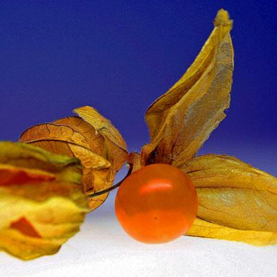 Chinese Lantern Plant orange decorative seed case.
