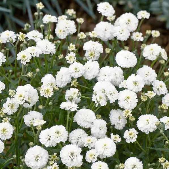 Achillea Noblessa - bulk flower seeds
