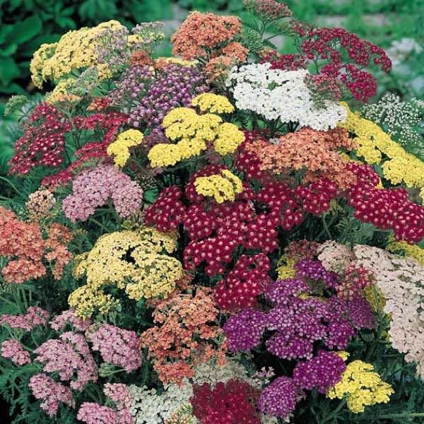 Achillea Summer Pastels - bulk flower seeds