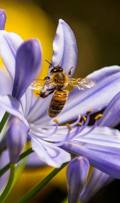 Bee approaches blue Agapanthus blossom
