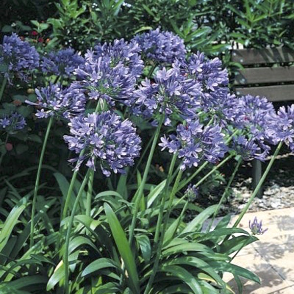 Headbourne Blue Hybrid agapanthus seeds. Tubular lavender or true blue summer flowers in large round heads.