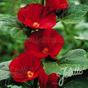 Hollyhock Mars Magic with large, single brilliant red flowers.