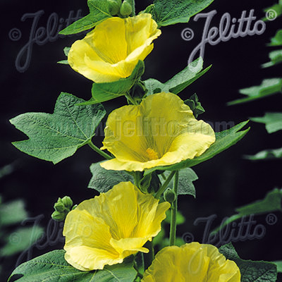 Hollyhock Sunshine with brilliant yellow single flowers.