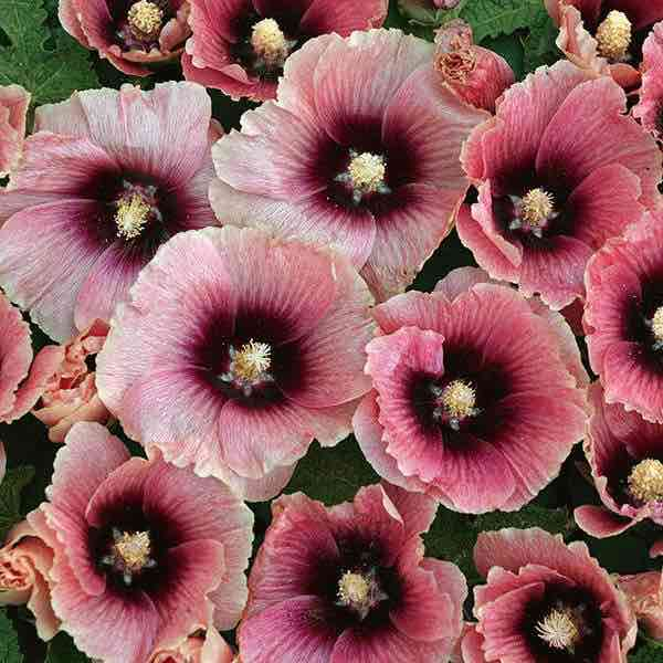 Hollyhock Halo Apricot - Biennial flower seeds.