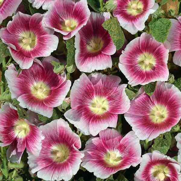 Hollyhock Halo Blush with brilliant crimson flowers with white edges and yellow centers.