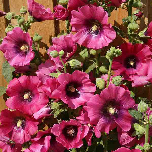 Hollyhock Halo Halo Cerise. Brilliant crimson flowers. Biennial flower seeds.