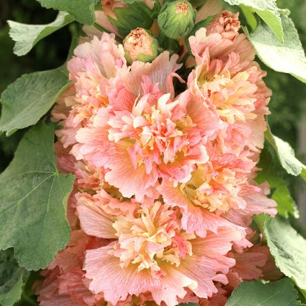 Hollyhock Spring Celebrities Apricot holding ruffled, double flowers in rich, apricot shades.