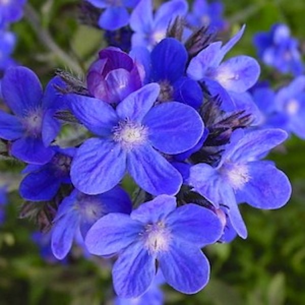 Anchusa Dropmore flowers are true blue - Perennial flower seeds.