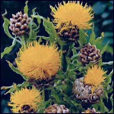 Armenian Basket Flower