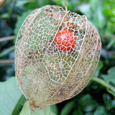 Fruit of Chinese Lantern Plant ripening inside shell of seed case.