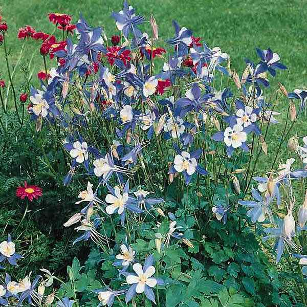 Columbine Blue Star Flower