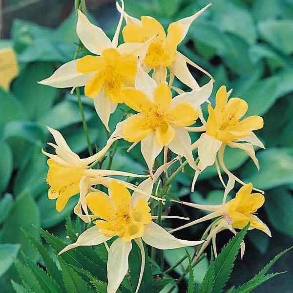 Yellow Star columbine.