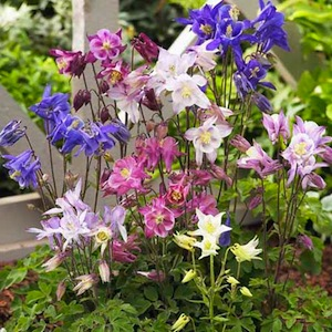 Biedermeier Mix columbine.