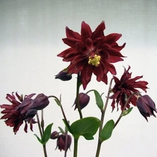 Bordeaux Barlow columbine.