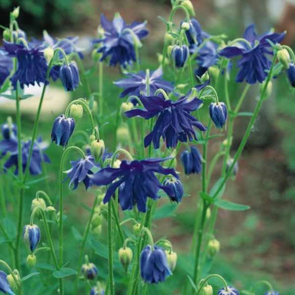 Blue Barlow columbine.