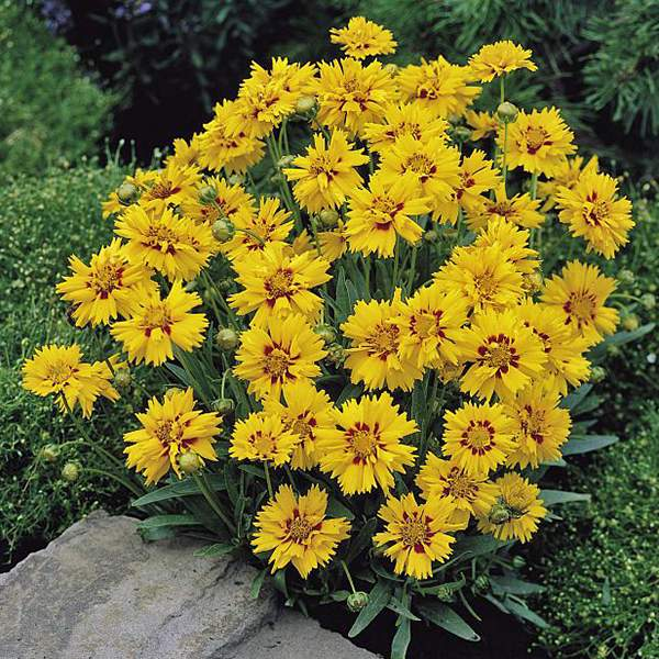 photograph of Rising Sun coreopsis - Perennial flower seeds.