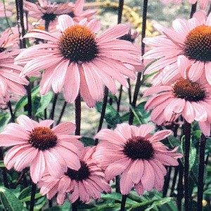 Echinacea Bravado - Echinacea purpurea - Perennial Flower Seeds