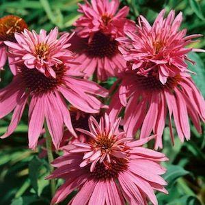 Echinacea: Echinacea Double Decker - Echinacea purpurea - Perennial Flower Seeds