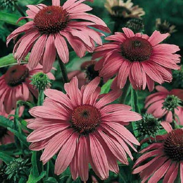 Magnus Superior echinacea - Echinacea purpurea - Perennial Flower Seeds