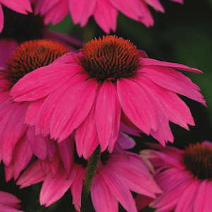 Echinacea: Echinacea PowWow Wild Berry Photo - Perennial Flower Seeds