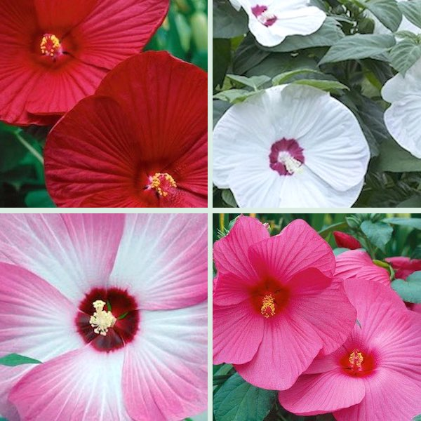 Hibiscus Luna Mix - perennial flowers from seeds